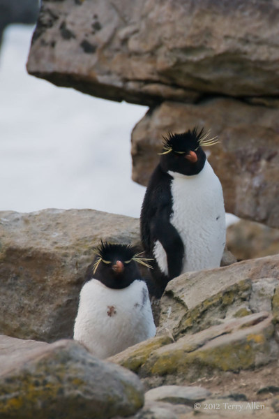 Rockhopper-penguin-7,-New-Island,-Falkland-Islands