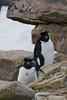 Rockhopper-penguin-7,-New-Island,-Falkland-Islands