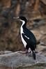 Antarctic-shag,-New-Island,-Falkland-Islands