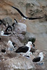 Black-browed-albatross-2,-New-Island,-Falkland-Islands