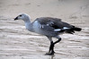 Male-uplands-goose,-New-Island,-Falkland-Islands