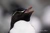 Rockhopper-penguin-6,-New-Island,-Falkland-Islands