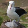 Black-browed-albatross-&-chick-3,-Sanders-Island,-Falkland-Islands