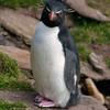 Rockhopper-penguin-6,-Sanders-Island,-Falkland-Islands