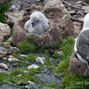 Black-browed-albatross-&-chick-5,-Sanders-Island,-Falkland-Islands