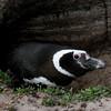 Magellenic-penguin-in-den-1,-Sanders-Island,-Falkland-Islands