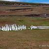Whale-carcass,-skua,-and-sheep,-Sanders-Island,-Falkland-Islands