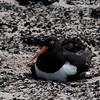 Blackish-oyster-catcher,-Sanders-Island,-Falklands-Islands
