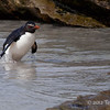 Rockhopper-leaving-water-1,-Sanders-Island,-Falkland-Islands
