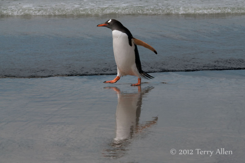 Reflected-gentoo-3,-Sanders-Island,-Falkland-Islands
