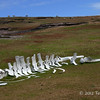 Whale-carcass-and-sheep,-Sanders-Island,-Falkland-Islands