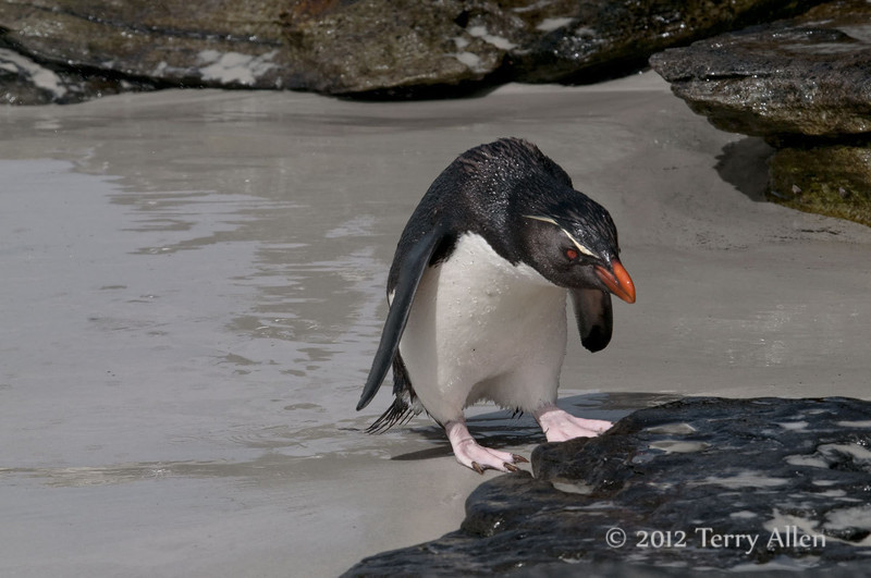 Rockhopper-leaving-water-3,-Sanders-Island,-Falkland-Islands