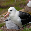 Black-browed-albatross-&-chick-6,-Sanders-Island,-Falkland-Islands