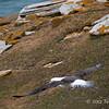 Black-browed-albatross-taking-off,-Sanders-Island,-Falkland-Islands