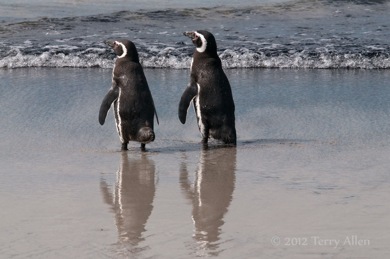 Magellenic penguins