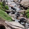 Rockhopper-penguins-5,-Sanders-Island,-Falkland-Islands
