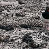 Blackish-oyster-catcher-&-chick,-Sanders-Island,-Falkland-Islands