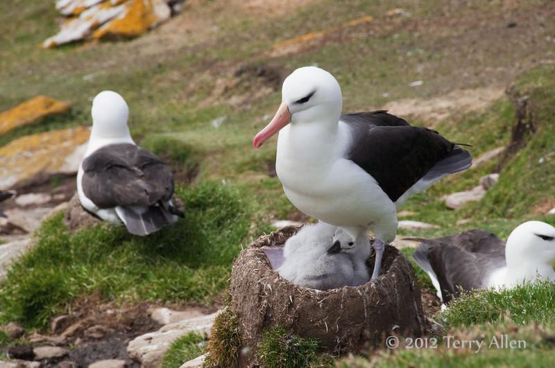 Black-browed-albatross-&-chick-1,-Sanders-Island,-Falkland-Islands