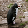 Rockhopper-penguin-3,-Sanders-Island,-Falkland-Islands