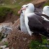 Black-browed-albatross-chick-begging-for-food,-Sanders-Island,-Falkland-Islands
