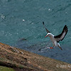 Black-browed-albatross-landing,-Sanders-Island,-Falkland-Islands
