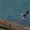 Black-browed-albatross-landing,-Sanders-Island,-Falkland-Islands