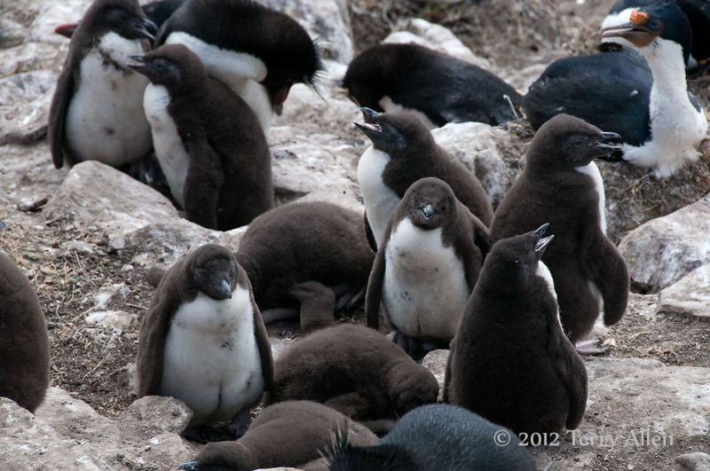 Rockhopper-chicks,-Sanders-Island,-Falkland-Islands