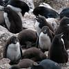 Rockhopper-chicks,-Sanders-Island,-Falkland-Islands