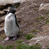 Rockhopper-penguin-2,-Sanders-Island,-Falkland-Islands