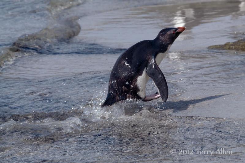 Rockhopper-leaving-water-2,-Sanders-Island,-Falklands-Islands
