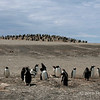 Gentoo-colony-2,-Sanders-Island,-Falkland-Islands