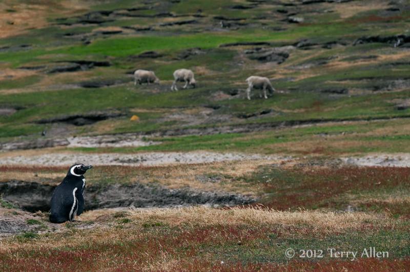 Magellenic-penguin-&-sheep,-Sanders-Island,-Falkland-Islands