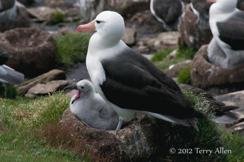 Black-browed-albatross-&-chick-2,-Sanders-Island,-Falkland-Islands