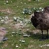 Skua-&-chick,-Sanders-Island,-Falkland-Islands