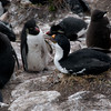 Blue-eyed-shags-&-rockhoppers,-Sanders-Island,-Falkland-Islands