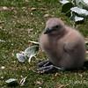 Skua-chick,-Sanders-Island,-Falkland-Islands