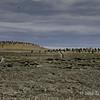 Gentoo-colony-1,-Sanders-Island,-Falkland-Islands