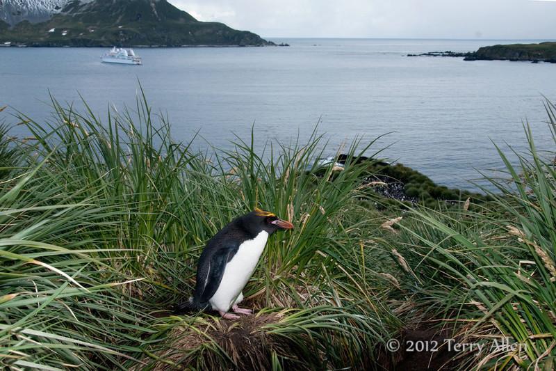 Macaroni-penguin-&-Le-Diamant,-Cooper-Island,-South-Georgia-Island