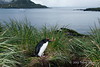Macaroni-penguin-&-Le-Diamant,-Cooper-Island,-South-Georgia-Island