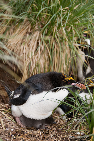 Macaroni-penguin-&-chick,-Cooper-Island,-South-Georgia-Island