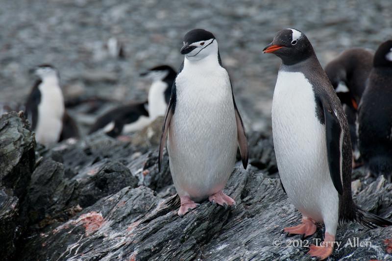 Chinstrap-and-gentoo-penguin,-Cooper-Island,-South-Georgia-Island