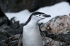 Chinstrap-penguins-leaping-from-sea-3,-Scotia-Sea,-South-Georgia-Island