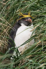 Macaroni-penguin-in-grass,-Cooper-Island,-South-Georgia-Island
