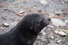 Baby-fur-seal-1,-Cooper-Island,-South-Georgia-Island