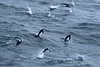 Chinstrap-penguins-leaping-from-sea-2,-Scotia-Sea,-South-Georgia-Island