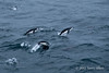 Chinstrap-penguins-leaping-from-sea-1,-Scotia-Sea,-South-Georgia-Island