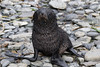 Baby-fur-seal-3,-Cooper-Island,-South-Georgia-Island