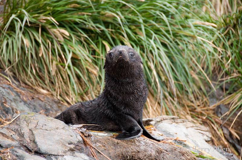 Baby-fur-seal-2,-Cooper-Island,-South-Georgia-Island