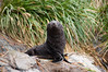 Baby-fur-seal-2,-Cooper-Island,-South-Georgia-Island
