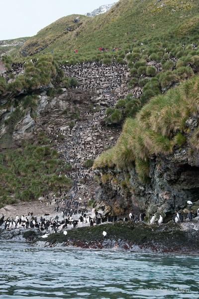 Macaroni-penguin-colony,-Cooper-Island,-South-Georgia-Island